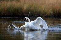 trumpeter swan yellowstone np