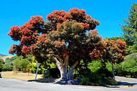Red Christmas Tree Akaroa New Zealand NZ Banks Peninsula South Island Canterbury Region.