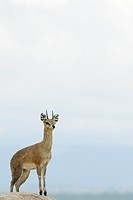Klipspringer (Oreotragus oreotragus) standing on a rock wtih the Masai Mara in the background at dusk.