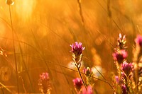 Soft pink meadow flower on sunrise nature background