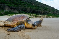 Loggerhead sea turtle (Caretta caretta) returning to the sea after nesting (laying eggs). iSimangaliso Wetland Park (Greater St Lucia Wetland Park). K...