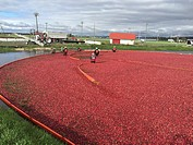 Cranberry Harvest Celebration in Delta BC. . These cranberries, are wet harvested with varied colors, are destined for processing into juice, flavorin...