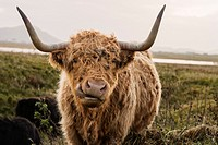 Scottish highland cow looking into camera with mouth open, Outer Hebrides, Scotland.