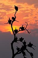 Lappet-faced Vulture (Torgos tracheliotus), on the tree, Chobe National Park, Botswana.