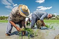"Traditional """"Planta"""" of ricefields in Delta del Ebro, Tarragona, Catalonia, Spain."