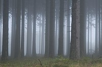 Fog in the wood - Belgium
