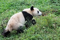 Adult Giant Panda (Ailuropoda melanoleuca), China Conservation and Research Centre for the Giant Pandas, Chengdu, Sichuan, China.
