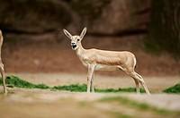 Close-up of a blackbuck (Antilope cervicapra) female in late summer.