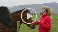 Iceland Akureyri woman feeding Icelandic horses in farm near Akureyri Model Released MR-3