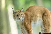 Close-up of a Eurasian lynx (Lynx lynx) in a forest in spring, Bavaria, Germany.