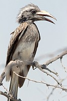 African grey hornbill (Tockus nasutus) - Etosha National Park, Namibia, Africa.