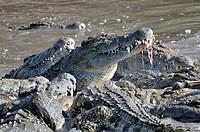 Nile Crocodile (Crocodylus niloticus) eating on Wildebeest (Connochaetes taurinus) after killing in Grumeti river, Serengeti national park, Tanzania.