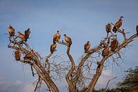 White-backed Vulture (Gyps africanus),Chyulu Hills National Park, Kenya.