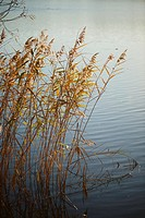 Landscape of common reed (Phragmites australis) beside a lake on a evening in autumn, Upper Palatinate, Bavaria, Germany.