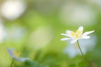 wood anemone (Anemone nemorosa) close up with shallow depth of field.
