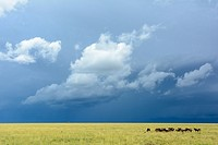 Blue wildebeest or common wildebeest, white-bearded wildebeest or brindled gnu (Connochaetes taurinus and approaching storm. Serengeti National Park. ...