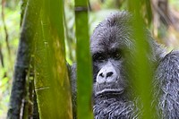 Mountain Gorilla (Gorilla gorilla beringei) large silverback male from the Sabyinyo group, portrait in bamboo forest and rain, Volcanoes national park...