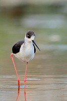 Black-winged Stilt Himantopus himantopus at the shore of Agia lake, Crete, Greece