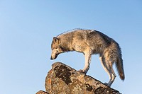 Beautiful Gray Wolf (Canis lupus) standing on a rock, captive, California, USA