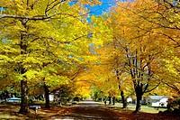 Fall colors in autumn with Maple Tree on Lake Huron Shore near Lexington Michigan.