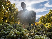 Grape Harvest by traditional hand picking in the Wachau area of Austria. The Wachau is a famous vineyard and listed as Wachau Cultural Landscape as UN...