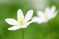 Wood Anemone (Anemone nemorosa), close-up with shallow depth of field, Haute Savoie, France.