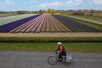 Tulip fields in the Netherlands are an attraction for tourists.