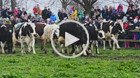 Cattles´ first day on pasture land in spring