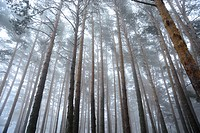 Pine wood with fog in Canencia mountain pass, Madrid, Spain.