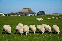 sheeps and traditional farm at Texel
