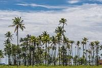 Coconut tress at Telaga Air, Matang, Sarawak, Malaysia