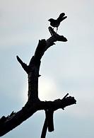 Silhouette of bird in Raja Empat islands, West Papua, Indonesia.