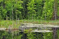 Wetland and tree snags, Hwy 63 near Hayward, Wisconsin, USA.