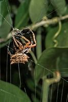 Arrow-shaped Micrathena (Micrathena gracilis) Spider Ensnaring Small Black Wasp. Corolla, Currituck County, Outer Banks, North Carolina USA.