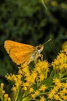 Broad-winged Skipper Butterfly (Poanes viator) Feedingg on Goldenrod (Solidago odora) Flowers Corolla, Currituck County, Outer Banks, North Carolina U...