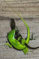 Green Anole Lizard (Anolis carolinensis) Pair Mating. Morehead City, North Carolina, USA