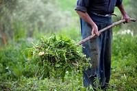 Organic farmer moves grass using a pitchfork in his organic farm in Prado del Rey, Cadiz, Andalusia, Spain. In his farm Sanchez produces vegetables an...