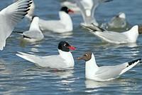 Mediterranean Gull Larus melanocephalus feeding with Black headed Gulls Spring Norfolk.