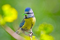 Blue-tit with a caterpillar in his beak as he prepares to enter his nest to feed his young.