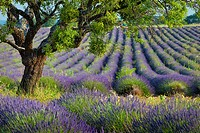 Lone tree in purple field of lavender along the Valensole Plateau, Provence France.