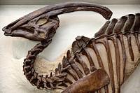 Tubular crest of Parasaurolophus Hadrosaur dinosaur Alberta at ROM Toronto.