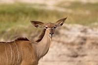 Kudu (Tragelaphus strepsiceros), Chobe National Park, Botswana.