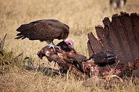 Hooded Vulture (Necrosyrtes monachus), approaching at the carcass of a Cape Buffalo (Syncerus caffer caffer). Savuti, Chobe National Park, Botswana.