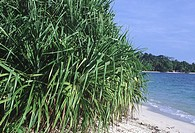A thicket of Pandanus just above the high tide mark on a beach in the Nicobar Islands. Common names include pandan, screw palm and screw pine