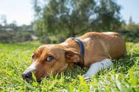 Female mixed breed laying on the grass, San Diego, California.