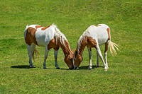 Two wild horses grazing on a range, Bombay Hills, South island, New Zealand.
