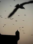 Flock of birds in sky, Essaouira, Morocco.
