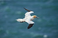 Close-up of Northern gannet (Morus bassanus) in spring (april) on Helgoland a small Island of northern Germany.