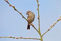Hedge Sparrow Prunella modularis on Sallow willow branch in garden in Spring. Norfolk England UK