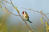 Goldfinch Carduelis carduelis in Winter Norfolk England UK